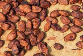 Cacao Seeds