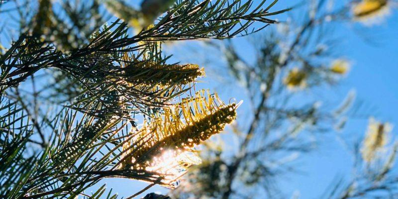 Close Up of Pine Pollen